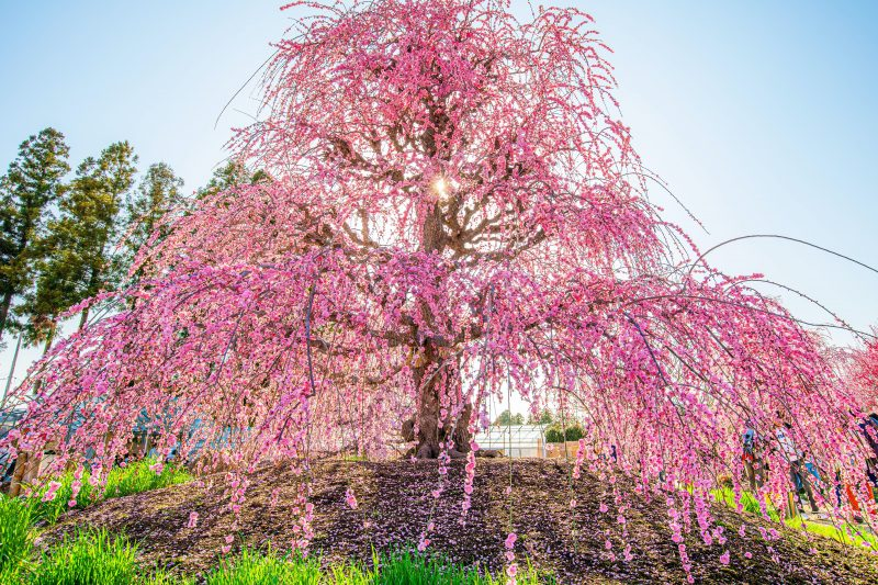 神々しい枝垂れ梅