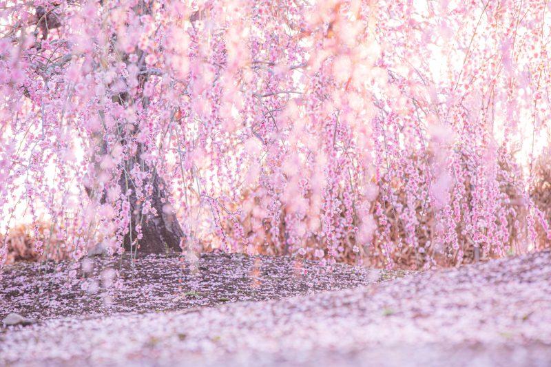 梅のじゅうたん