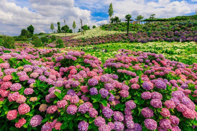 75000本の紫陽花