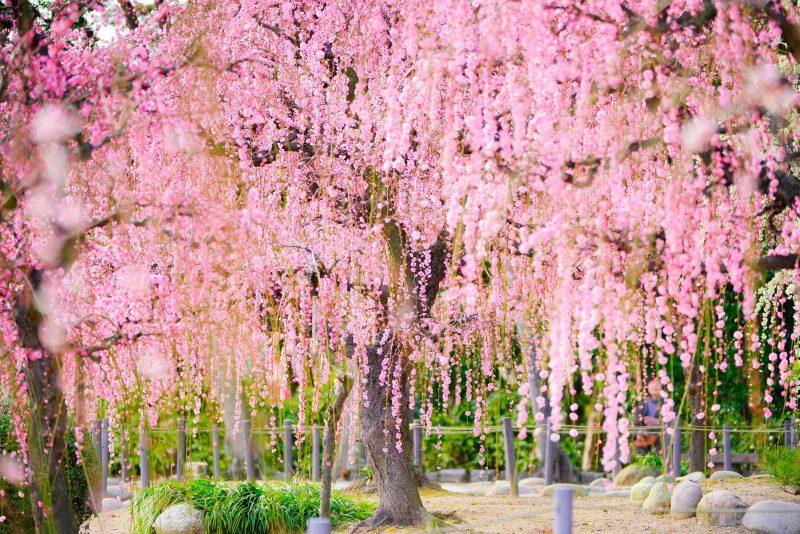 結城神社の庭園としだれ梅