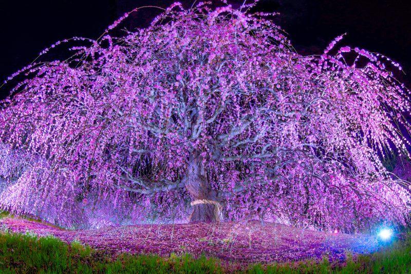 夜の枝垂れ梅ライトアップ