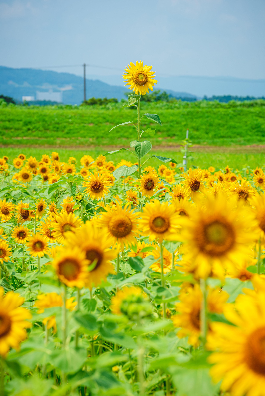 夢ファームターチャンのひまわり畑の写真 この指とまれ 高品質な三重の風景写真は三重フォトギャラリー